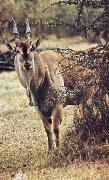 Eland able defiance its size do without water but akacians shade am failing one livsvillkor old