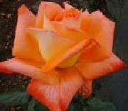 Realistic Orange Rose