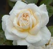 White Realistic Rose