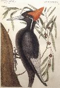 Catesby Mark Largest White Billed Woodpecker oil painting